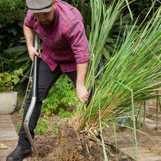 How To Grow Lemongrass - eco-organic garden by OCP