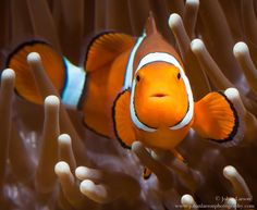 An Orange clownfish (Amphiprion percula) photographed in captive setting at James's Cook University Cairns Australia. #memo #clownfish #clown #fish# marine #gbr #greatbarrierreef #cuteanimal #animalportrait #animallovers #animal #wildlife #wildtropics #wildlifeaddicts #wildlifeofaustralia #wildlifephotography #underwaterphotography #anemone #reef #reeffish #jcu #australia #queensland #visitqueensland #discoverqueensland #queensland #aquarium #beautiful #ig_australia #igscwildlife #ig_fish by…