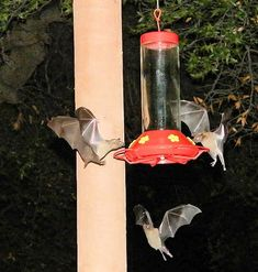 Migrating fruit bats feed at a hummingbird feeder.They take turns and scores of them will be milling around.Picture taken in Oracle, Arizona's by Photographer Paul Fargo. Beautiful Creatures, Animals Beautiful, Cute Animals, Wild Animals, Baby Animals, Mantis Religiosa, Bat Flying, Baby Bats, Fruit Bat