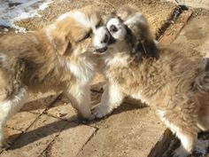 Great Bernese Puppies