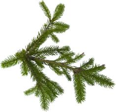This high quality free PNG image without any background is about tree, firs, abies and tree family pinaceae. Fir Tree, Tree Leaves, Cactus Plants, Christmas Gifts, Clip Art, Herbs, Nature, Image, Pine
