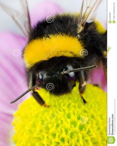 bumblebee-pollination-yellow-flower-24090028.jpg (JPEG Image, 1047×1300 pixels) - Scaled (46%)