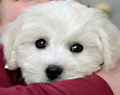 Sunshine White Havanese Puppy Painted 8x10 by MomentsBetweenMoment, $45.00