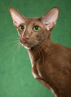 Other Oyate Oriental Shorthairs Cats
