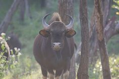 Wildlife and Wildlife Photography: Wildlife and Wildlife Photography - Indian Gaur, B...