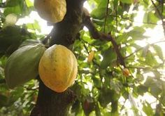 Growing cocao and making chocolate