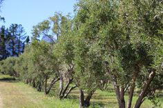 Which Olive Cultivars are commercially grown in South Africa? Read this post to find out. www.facebook.com/olivefactory Olives, Olive Oil, South Africa, How To Find Out, Facebook, Plants, Plant, Planets