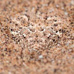 Hidden Perengue's Viper, in Namibian desert. Photo by Sean Braine.