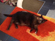 Maya Cat | Pawshake