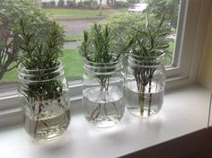 Propagate new plants from cuttings. Rosemary, lavender, sage. Remove leaves on the bottom of stem. Place cuttings in glass containers with water in a sunny window. In two weeks, there should be roots sprouting. Change the water every four or five days. Add water daily if needed. After roots develop, dip roots in cinnamon or raw honey and plant directly into clean soil. Potting soil if indoors. Gardening soil if outdoors. Organic soil only for plants you eat.