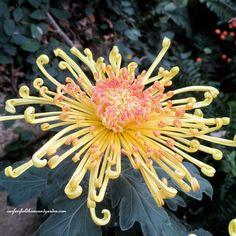 Field Trip ~ Chrysanthemum Festival at Longwood Gardens   http://ourfairfieldhomeandgarden.com/field-trip-chrysanthemum-festival-at-longwood-gardens/