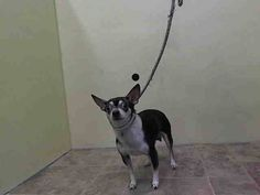 ~~TINY 4 YR OLD GUY TO BE DESTROYED 7/27/14~~ Manhattan Center   My name is KILINA. My Animal ID # is A1007615. I am a male brown and white chihuahua sh mix. The shelter thinks I am about 4 YEARS old.  I came in the shelter as a STRAY on 07/22/2014 from NY 10453, owner surrender reason stated was STRAY.  lw