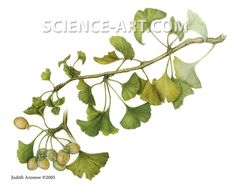 Ginkgo biloba branch botanical print.