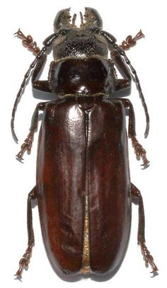 - - Neomallodon arizonicus - male