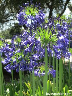 Storm Cloud Agapanthus - the hummingbirds were loving these!