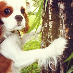 Prince leo the cavalier - Tree hugger. ♥