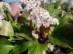 Image result for bergenia bressingham white