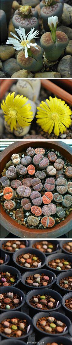lithops sassi viventi