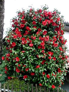 Camellia japonica Garden Trees, Garden Plants, Beautiful Gardens, Beautiful Flowers, Red Perennials, Camellia Plant, Baumgarten, Florida Gardening, Ornamental Plants