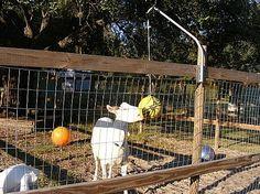 Tetherball Goat Toy - PetDIYs.com