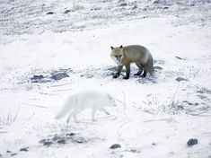 A red fox and an arctic fox hunt in unison.