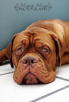 It's not easy being a big puppy  #Dogue de #Bordeaux