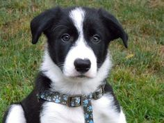 Who's the cutest Border Collie EVER? Zac? www.CuteARater.com