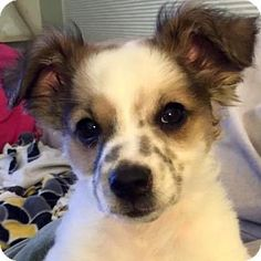 Pleasanton, CA - Papillon/Terrier (Unknown Type, Small) Mix. Meet Romeo, a puppy for adoption. http://www.adoptapet.com/pet/14379522-pleasanton-california-papillon-mix