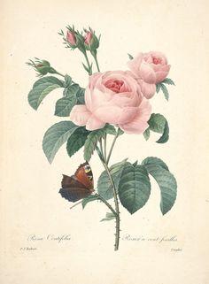 https://flic.kr/p/cXP5Uj | n160_w1150 | Choix des plus belles fleurs :. Paris :Ernest Panckoucke,[1833?].. biodiversitylibrary.org/page/12695561
