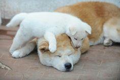 A Akita Pup Climbing on Top of its Mama's Head. Akita Puppies, Akita Dog, Cute Puppies, Cute Dogs, Japanese Akita, Japanese Dogs, Japanese Dog Breeds, Japon Tokyo, American Akita