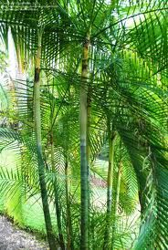 Dypsis baronii - grows in cooler climates