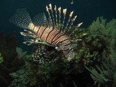 https://flic.kr/p/f8ysKz | Common Lionfish (Pterois volitans) | Bunaken, Manado - Indonesia