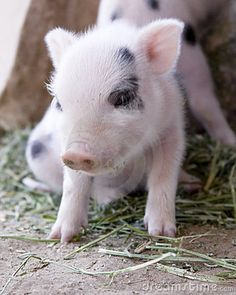 baby piglets   Cute And Fuzzy One Week Old Baby Piglets Stock Photos - Image: 5839153