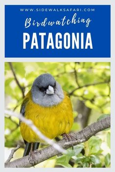 Travel Patagonia for some of the best birdwatching in the world. Go  birding in Argentina and Chile. Discover 8 cool places in Patagonia for  birds. #Argentina #Chile #birding #Patagonia #TravelPatagonia  #birdwatching