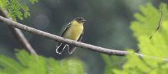 De palawanmees (Pardaliparus amabilis; synoniem: Parus amabilis) is een zangvogel die alleen voorkomt in de Filipijnen. De Tagalog(Tagalog is een Austronesische taal en wordt gesproken in de Filipijnen)naam voor deze …