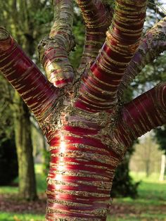 The paperbark cherry, or Tibetan cherry tree is known for its stunning mahogany-red bark. As the tree ages, its bark peals adding color and texture.