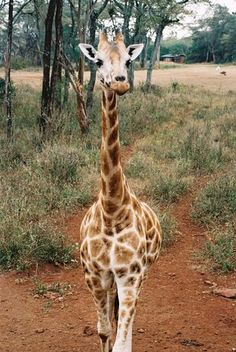 The Giraffe Centre, Langata, Nairobi, Kenya. I MUST GO HERE!!!