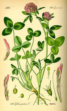 Free printable clover Illustration - Trifolium pratense #PublicDomain
