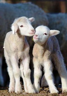 Two Little lambs x