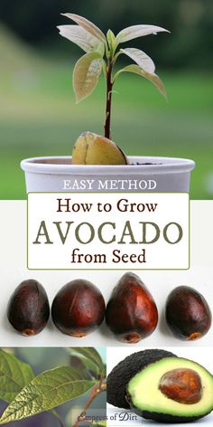 How to Grow an Avocado from Seed | Easy Method | Printable