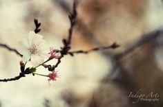 Blooming Cherry Tree - Photograph by Sarah Coppola of Indigo Arts