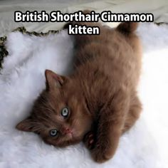 British Cinnamon Short-hair Kitten.