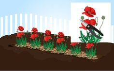 Grow Poppies - wikiHow