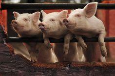 Los Cerditos de la Granja Animals, Piglets, Photos, Animales, Animaux, Animal Memes, Animal, Animais, Dieren