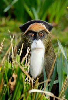 De Brazza's monkey from Mark Bridger, an amazing photographer. Look for his photos.