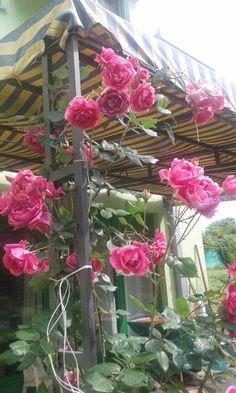 #rose #Cortanovci