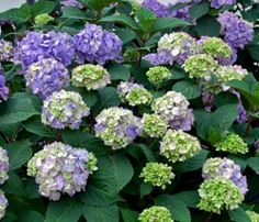 Hydrangea mac. Endless Summer 'Bloomstruck' It features strong, reddish-purple stems that highlight well against the dark green foliage, giving it interest even before it starts to bloom.  #purplehydrangea #classicshrub #easyplants