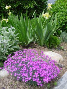 Irises, lamb's ear, and dianthus