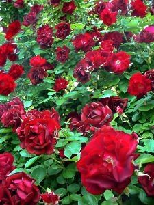 how to maintain u0026 care for a rose bush - Mini Roses Care Indoor