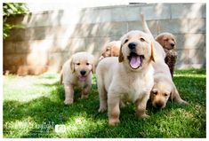 Golden Retriever and Lab Mix Puppies